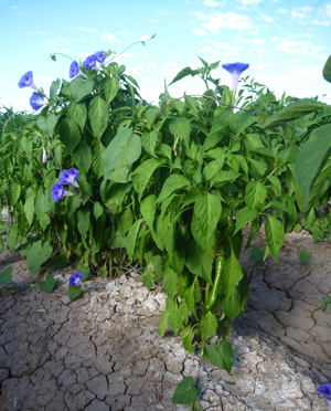 Morning glory surrounding a chile pepper plant