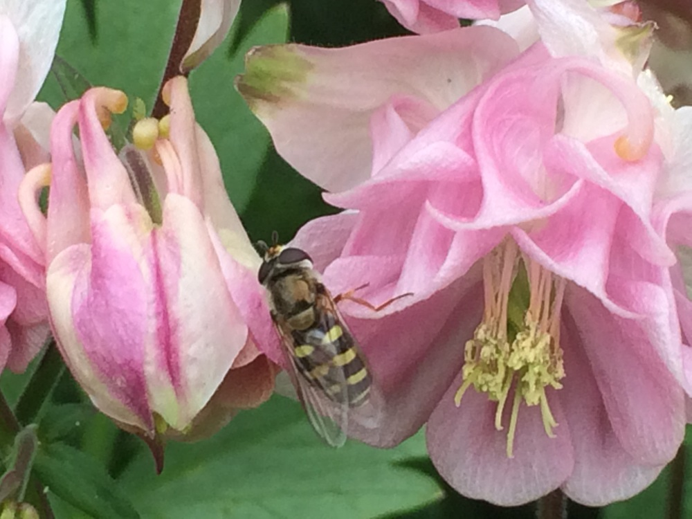 A bee-mimicking syrphid fly