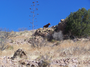 Cow on a ridge