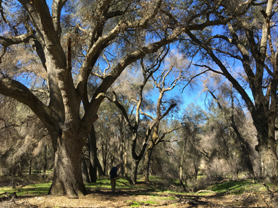 Oaks infested with gold spotted oak borer