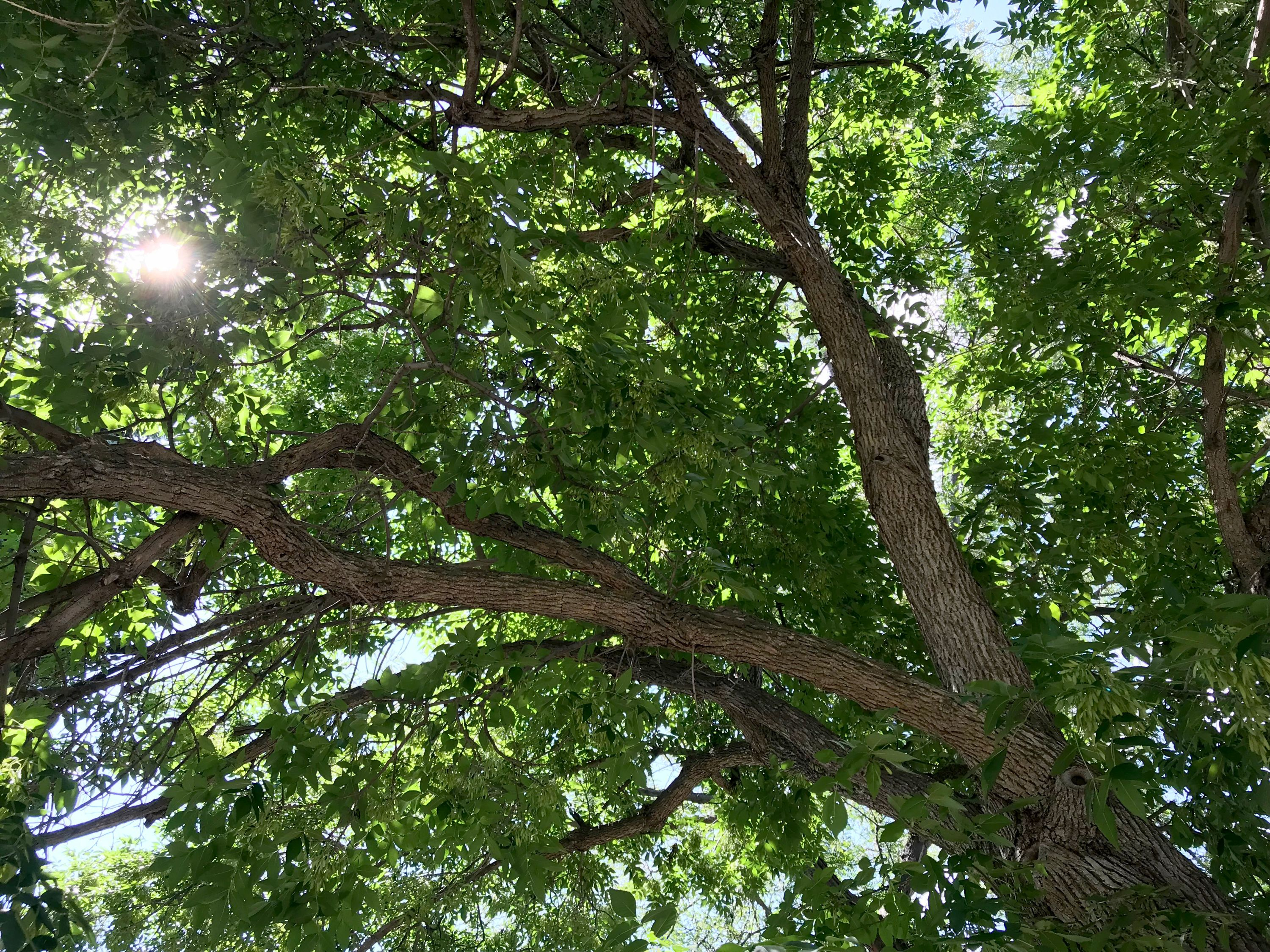 A healthy ash canopy