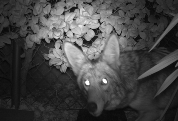 A coyote in a backyard