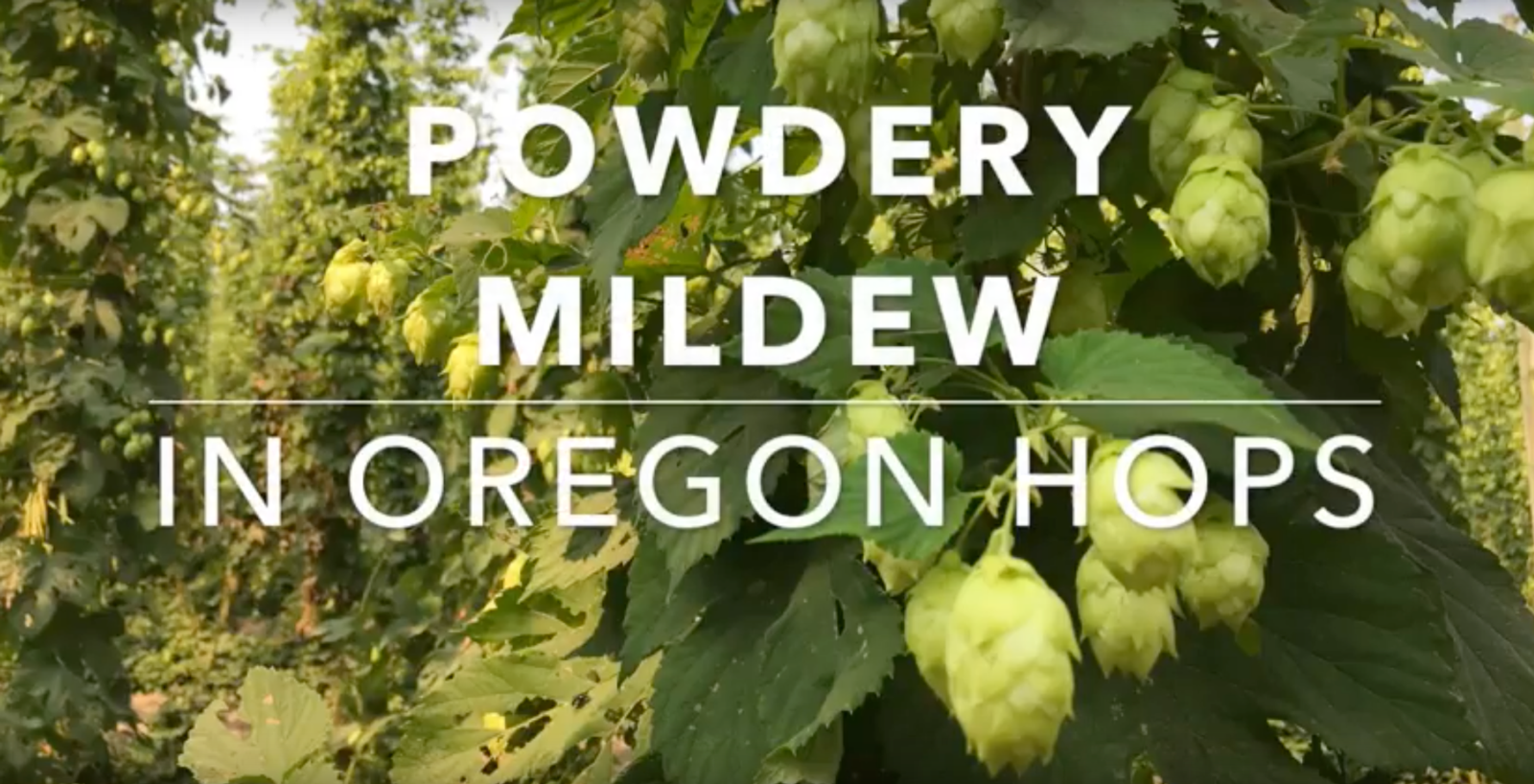 Oregon hops video