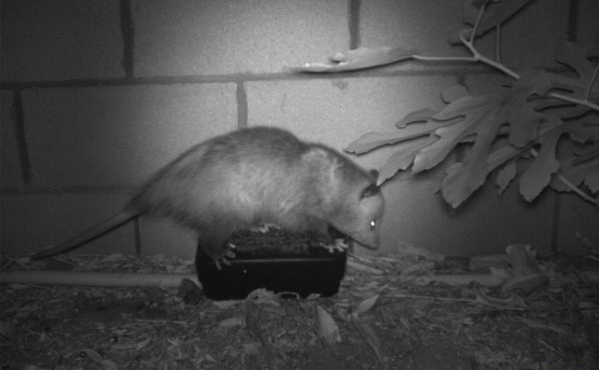 An opossum visiting a bait station