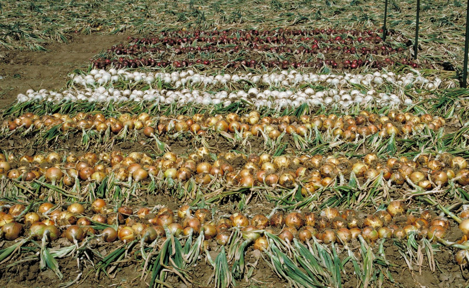 An onion variety trial