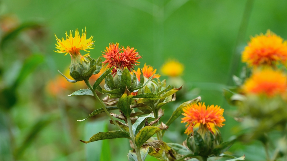 Safflower in bloom